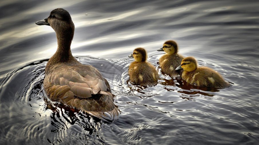 Raising Ducks: ...