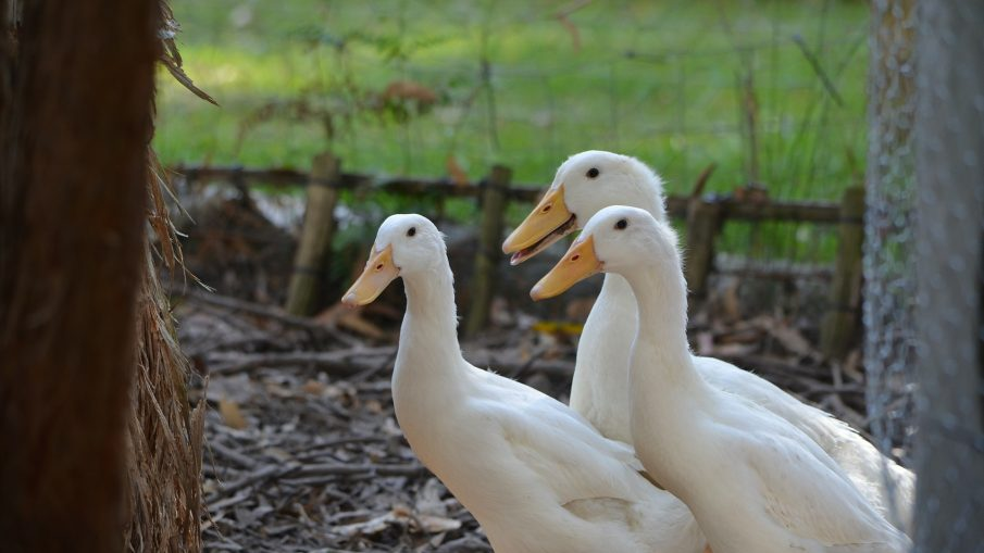 Duck Breeding Review: Pekin Duck Breed